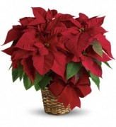 Poinsettia -  Eugene, Oregon