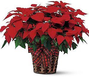 DLOL-6 Poinsettia reg