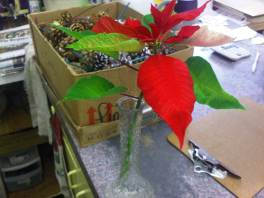New poinsettia bract